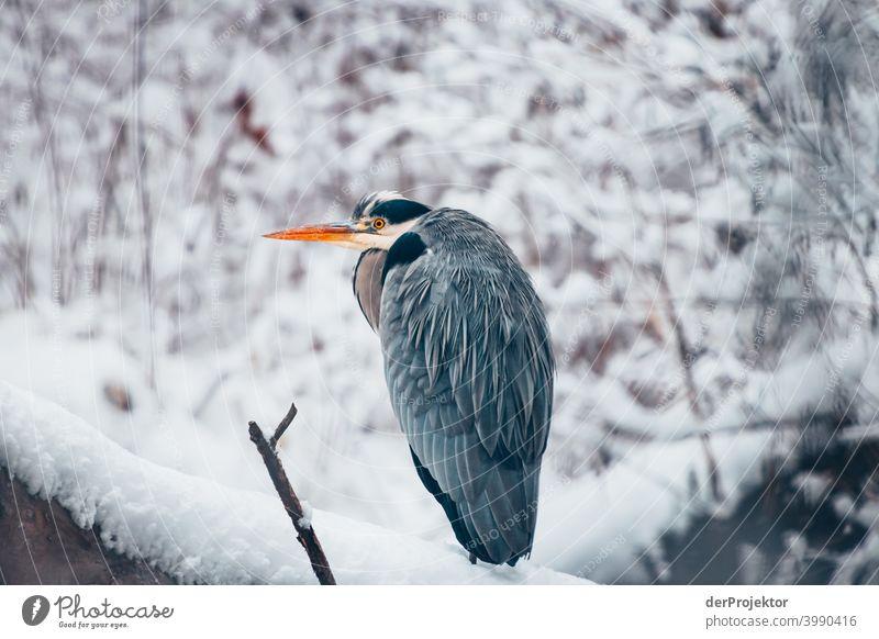 Winterlicher Karpfenteich mit Graureiher im Treptower Park II Naturphänomene Gefahr einbrechen Städtereise Sightseeing Naturwunder gefroren Frost Eis
