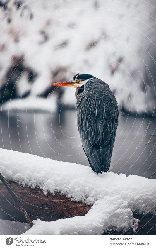 Winterlicher Karpfenteich mit Graureiher im Treptower Park I Naturphänomene Gefahr einbrechen Städtereise Sightseeing Naturwunder gefroren Frost Eis