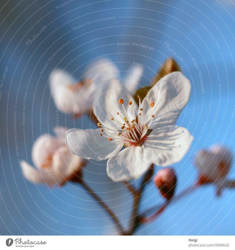 Frühlingsblüten - weiße Blüten an einem Zweig im Sonnenschein vor blauem Himmel Sonnenlicht Licht Schatten blühen Vorfreude Frühlingsgefühle Natur Pflanze