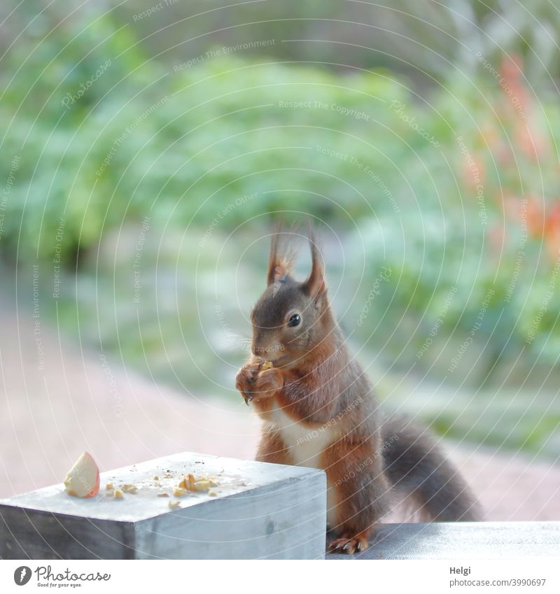 Frühstückszeit - Eichhörnchen sitzt auf dem Terrassentisch und frisst eine Nuss Tier Wildtier Fressen Futter Tisch Garten Farbfoto Außenaufnahme Natur 1 Tag