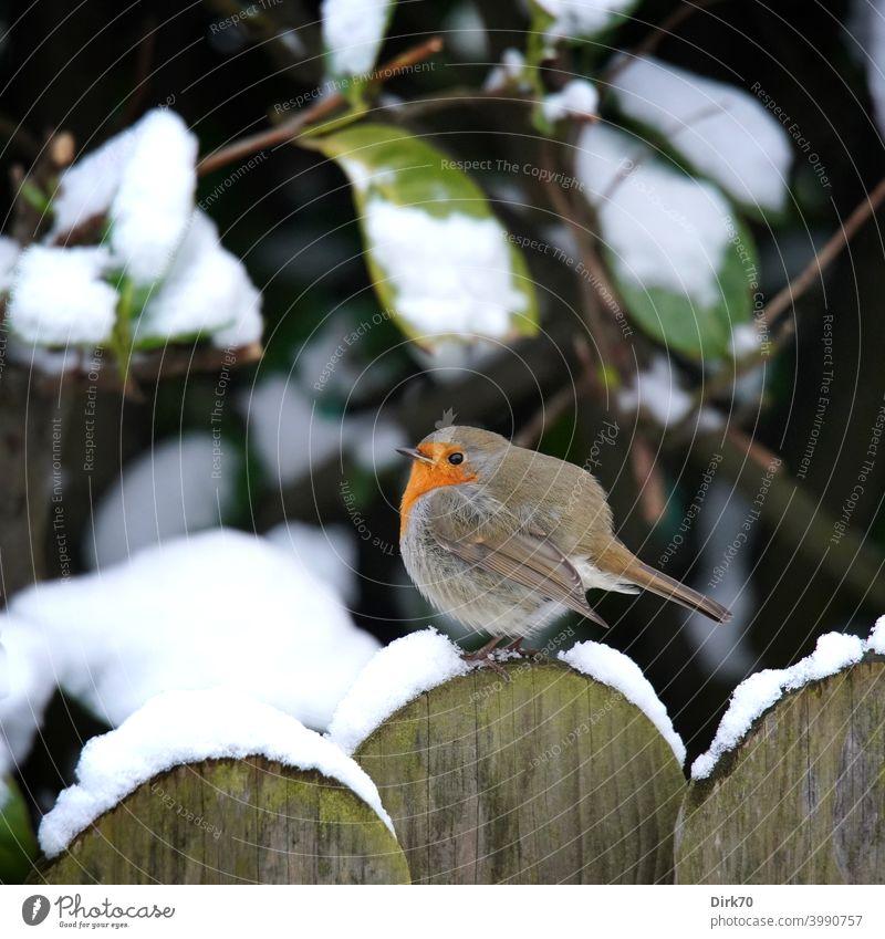Rotkehlchen auf dem Gartenzaun im Schnee Vogel Singvogel aufgeplustert kalt Kälte Zaun schneebedeckt Winter winterlich Frost frostig frieren rund aufplustern