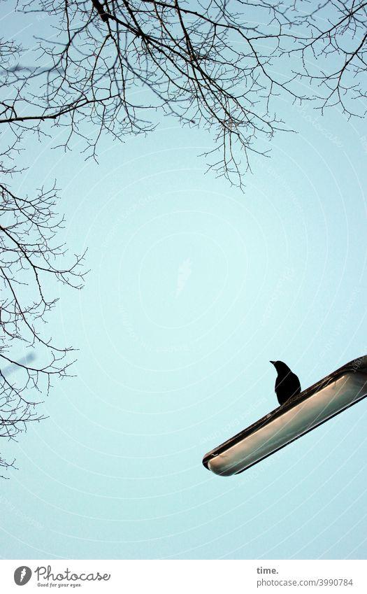 Außendienst amsel lampe straßenlampe sitzen schauen baum zweige äste aufmerksam neugierig wachsam beobachten himmel blau