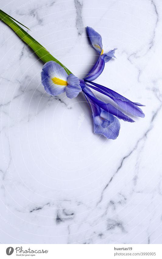 Blaue Lilien Blume Hintergrund mit Kopie Raum blau purpur Gremanische Schwertlilie Blumen geblümt Textfreiraum schön Natur Frühling Blüte Pflanze Schönheit