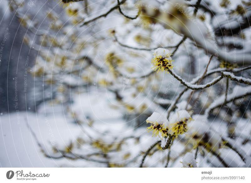blühender Baum mit Schnee winter schnee grau weiss kalt kühl Schneeflocken Bokeh Schneefall unscharf Unschärfe fokus frühlingsbeginn wintereinbruch