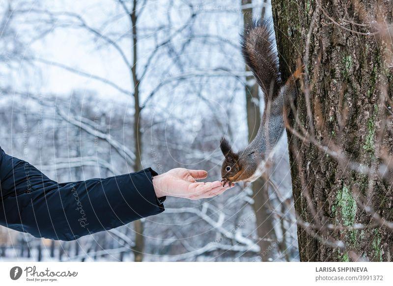 Neugierig Eichhörnchen sitzt auf Baum und isst Nüsse aus der Hand im Winter verschneiten Park. Winter Farbe des Tieres. neugierig wild Natur Tierwelt niedlich