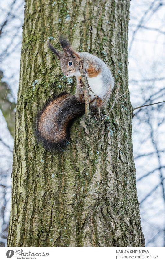 Neugieriges Eichhörnchen sitzt auf Baum und schaut nach unten. Winter Farbe des Tieres. neugierig fluffig niedlich Natur Wald braun Leitwerke Tierwelt rot Fell