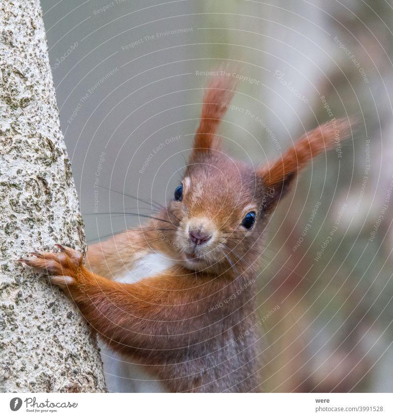 Europäisches Braunes Eichhörnchen im Winterfell auf einem Ast im Wald Hintergrund Sciurus vulgaris Tier Niederlassungen Textfreiraum kuschlig kuschelig weich