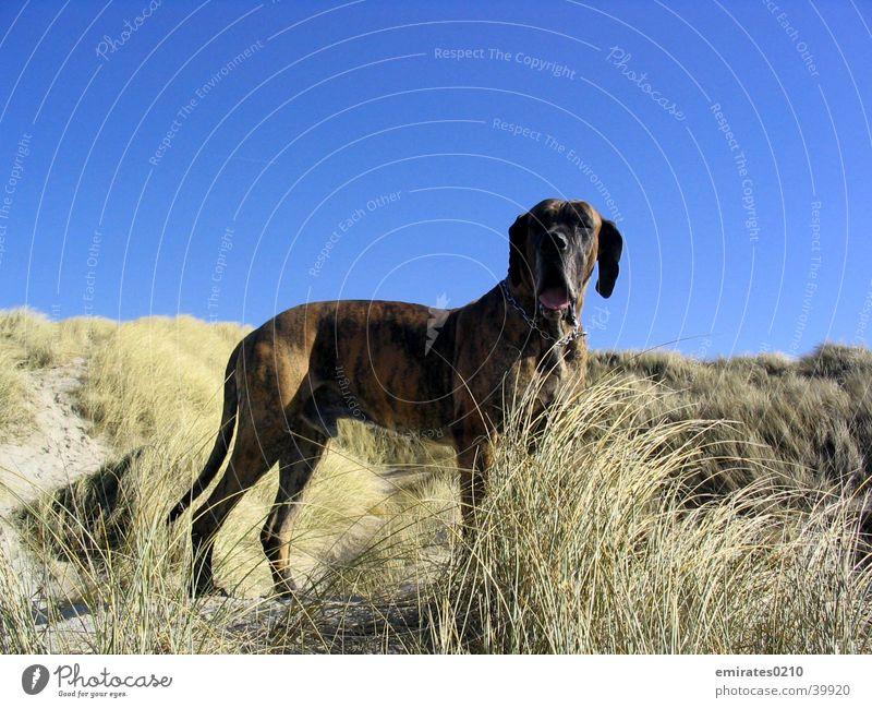 Hundeurlaub Dogge Strand Meer Ferien & Urlaub & Reisen gestromt Dänemark Sand Stranddüne