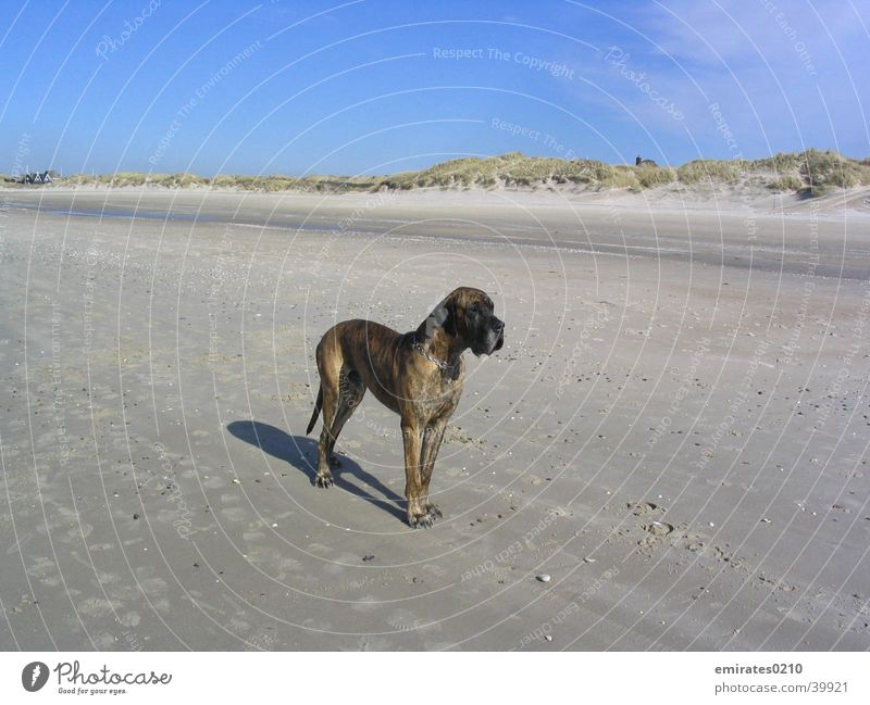 Am Strand Meer Ferien & Urlaub & Reisen Hund Sand Stranddüne Dänemark Dogge