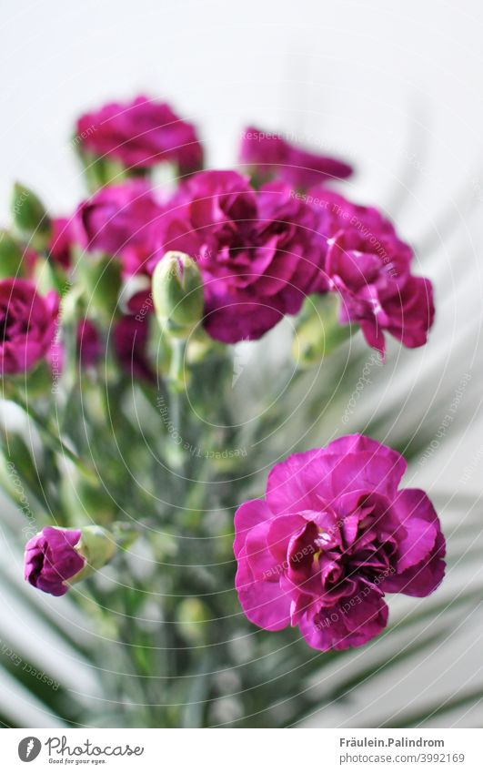 Pinke Nelke vor weißem Hintergrund lila violett Frühling Blume Pflanze floral Strauß Blumenstrauß bouquet Dekoration bunt Blüte Natur Sommer Garten blühend