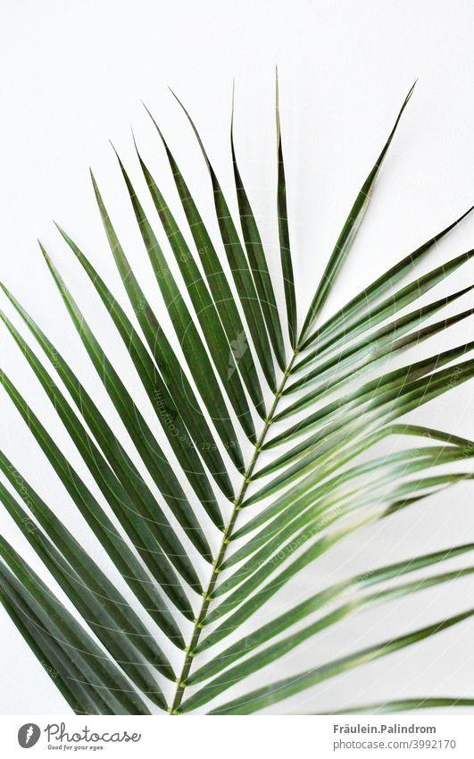 Pflanze vor weißem Hintergrund floral botanik natur grün Dekoration Freisteller zart Palme Farn Blatt Karibik