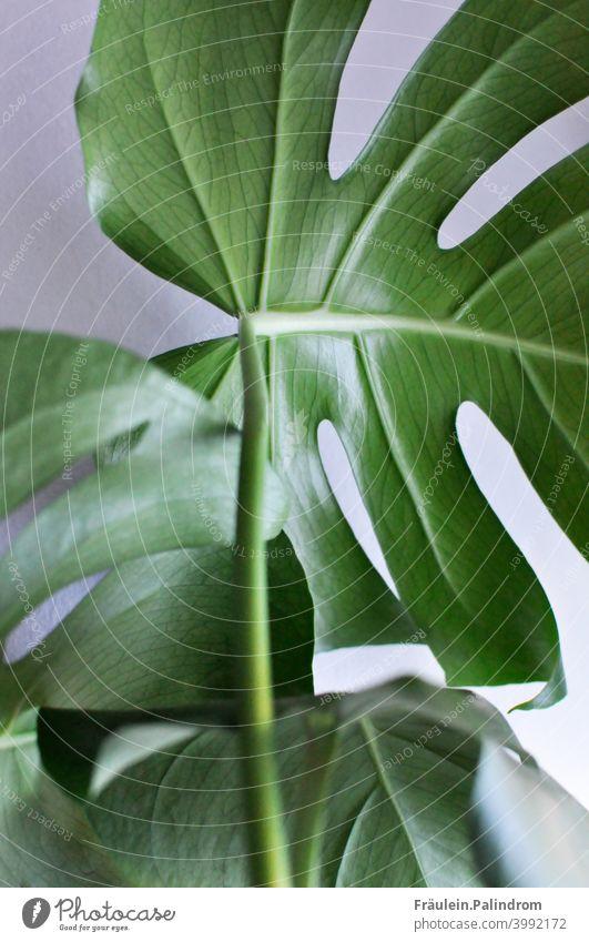 Monstera vor weißem Hintergrund Pflanze Blume floral Botanik Freisteller grün Umwelt Natur Blatt Blattadern Nahaufnahme Dekoration Urban gardening