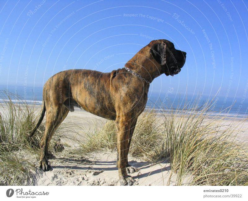 Fernweh Meer Strand Ferien & Urlaub & Reisen Hund Sand Stranddüne Dänemark Dogge