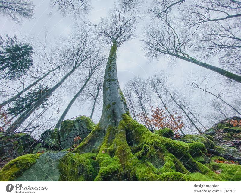 Yggdrasil Baum Moos Wurzel gebogen Wald Lichtung blattlos Blätter Äste Außenaufnahme Pflanze Menschenleer Landschaft Farbfoto Umwelt Natur Herbst Winter grün