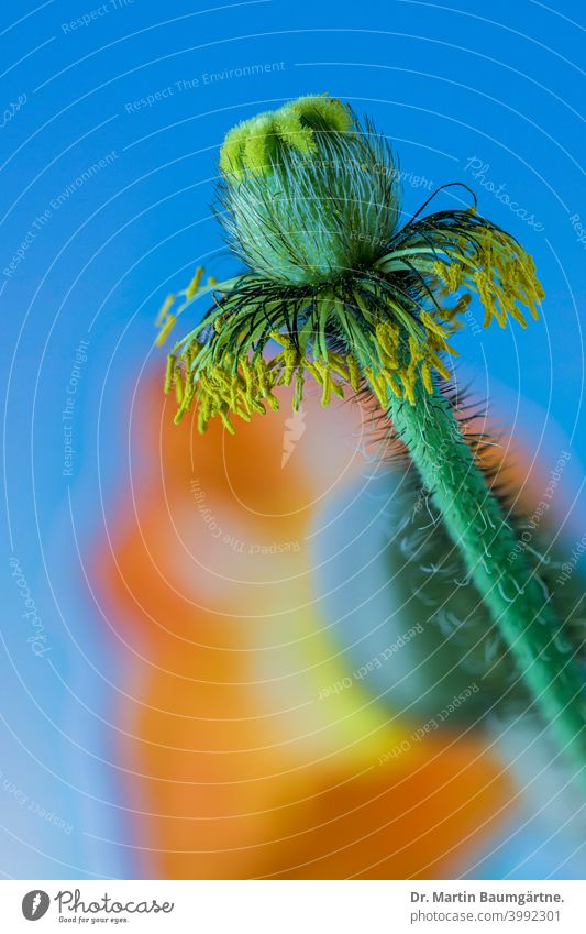Stempel und Blüte des Islandmohns (Papaver nudicaule), Mohngewächse (Papaveraceae). Isländischer Mohn Unschärfe Gartenform