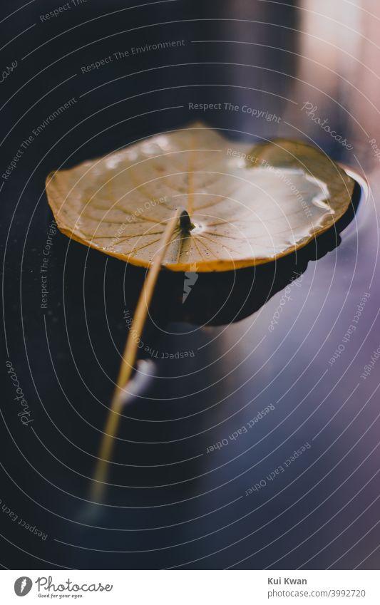 ein gelb-oranges Herbstblatt, das nach dem Regen in eine Pfütze mit Regenwasser gefallen ist Frühling Herbstlaub orange-gelb Reflexion & Spiegelung
