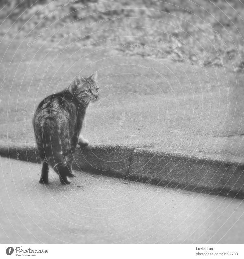 Tigerkatze hat die Straße überquert und verharrt nun am Bordstein, mit misstrauischem Blick in die Kamera Katze Straßenrand Bordsteinkante Außenaufnahme