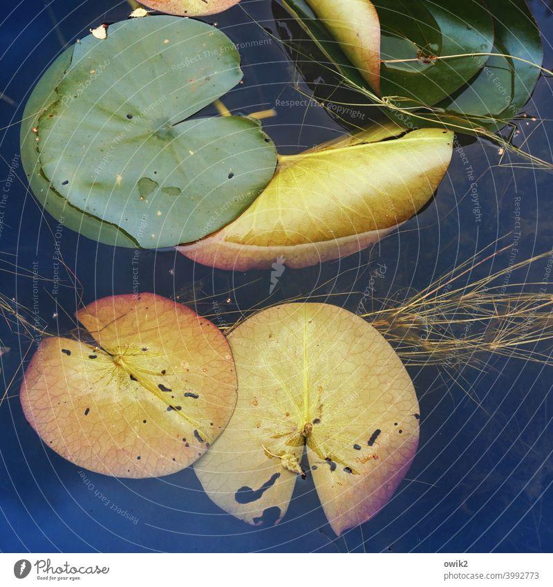 Schnäppchen Wasser Wasseroberfläche Ruhe Idylle Pflanze Seeufer Menschenleer Farbfoto Blätter Lotus Lotos Lotosblätter Wasserpflanze Seerosenblätter Natur