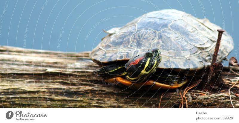 Ami auf Urlaub Wasser Hafen Sonnenbad ruhen Schildkröte
