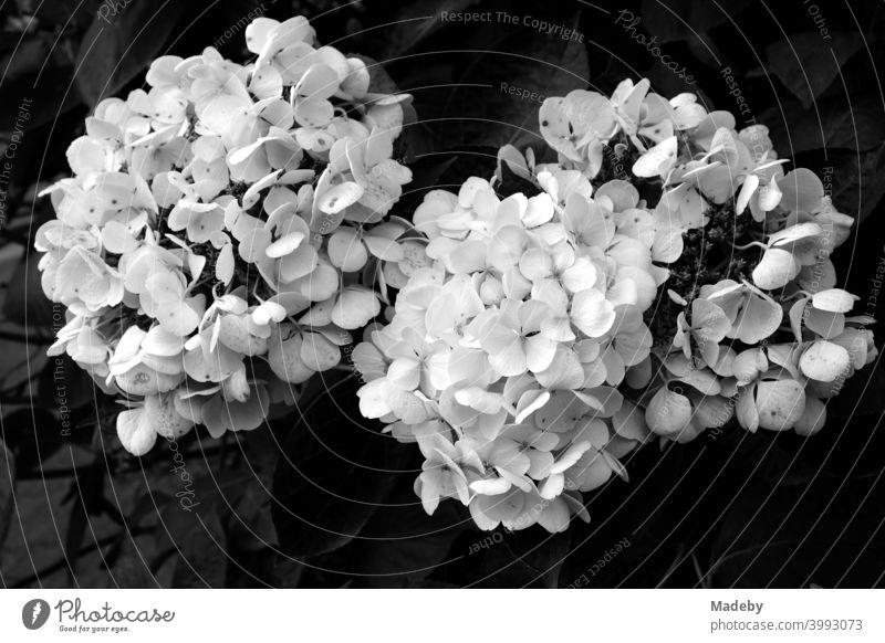 Blühende Flammenblume oder Phlox im Sommer in einem Garten auf einem Bauernhof in Rudersau bei Rottenbuch im Kreis Weilheim-Schongau in Oberbayern, fotografiert in klassischem Schwarzweiß