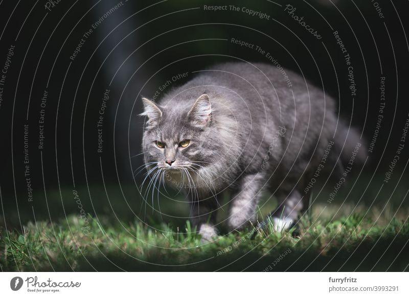 Katze läuft auf Wiese im Sonnenlicht maine coon katze grün Rasen Gras Garten Vorder- oder Hinterhof im Freien laufen sonnig Jagd die sich auf  herumtreiben.