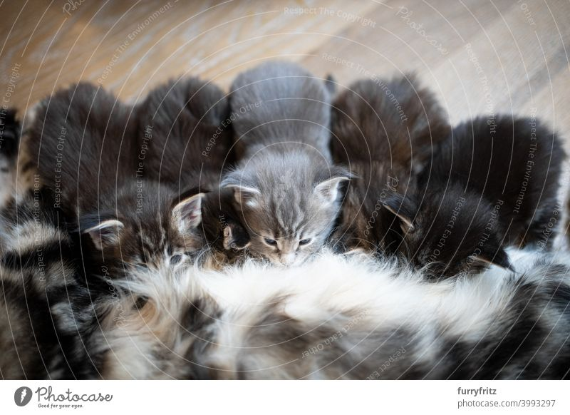 Kätzchen trinken Milch von der Mutterbrust Katze Stillen Pflege Tierverhalten melken Tiergruppe Katzengruppe auf der Seite liegend nebeneinander winzig niedlich