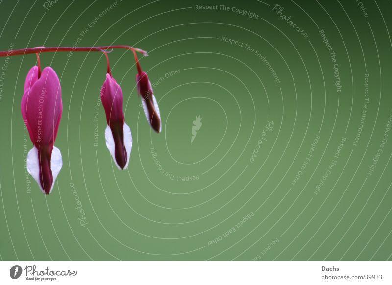 Tränendes Herz grün Pflanze Blüte Frühling Blume