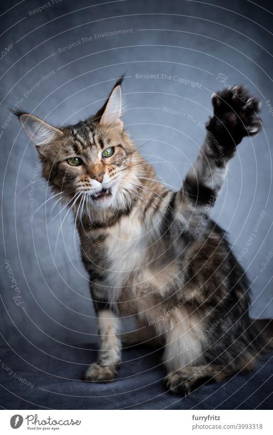 spielende Waschbärkatze, die die Pfote hebt Katze schön Studioaufnahme fluffig Fell katzenhaft maine coon katze grau Ein Tier im Innenbereich Tabby Ohrbüschel