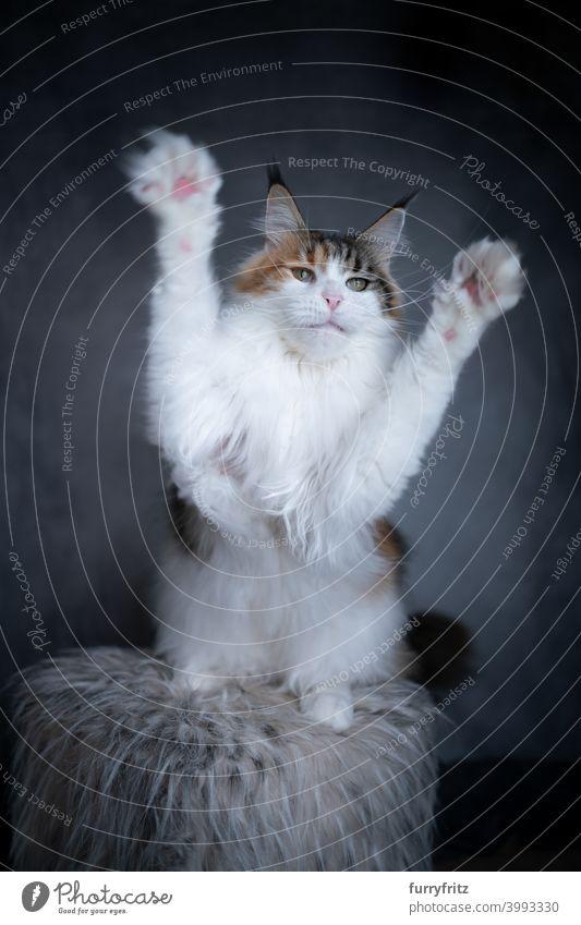 weiße Maine Coon Katze spielen Pfötchen heben schön winzig niedlich bezaubernd Studioaufnahme fluffig Fell katzenhaft maine coon katze grau Kattun Pfoten heben