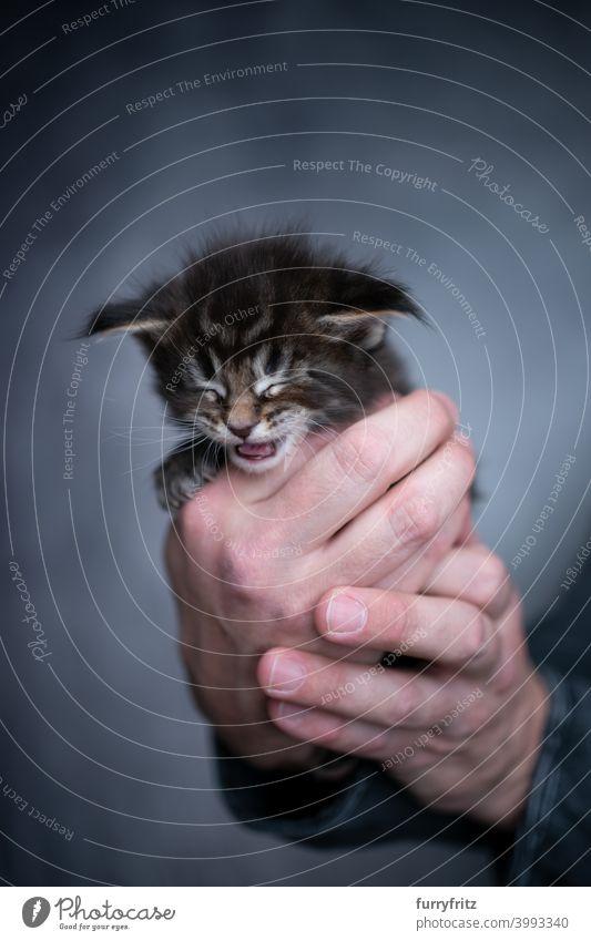 männliche menschliche Hände halten kleines Kätzchen Katze schön winzig niedlich bezaubernd Studioaufnahme fluffig Fell katzenhaft maine coon katze Katzenbaby
