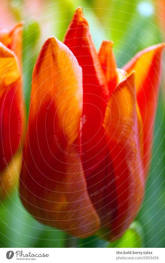 Tulpe orange Blume Blüte Frühling Pflanze Farbfoto Innenaufnahme Blumenstrauß Natur leuchten Blühend Tag