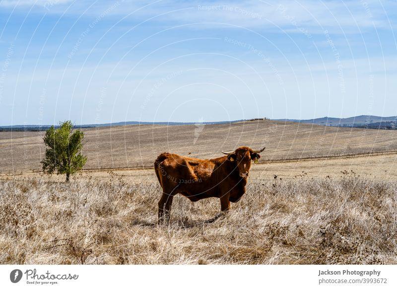 Rote Kühe beim Grasen auf trockenen Wiesen im Alentejo, Portugal Kuh Cork Landschaft Tier Bäume rot Himmel Eiche portalegre Freilauf Alt-Alentejo Ansicht