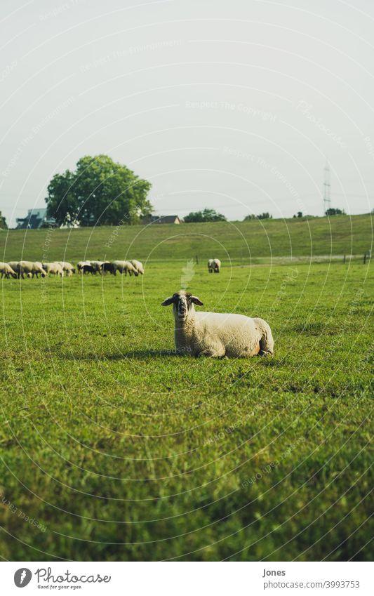 Schaf im Grünen Herde gras himmel feld süß unscharf wiese weide lama sommer frühling norden aufmerksam tier landschaft draußen