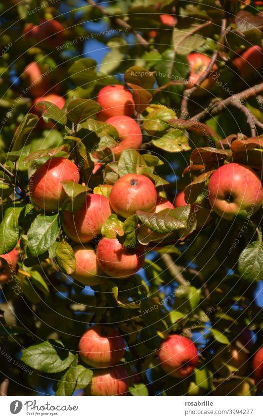 Äpfel in   grün, gelb, rot Apfel Apfelbaum reif lecker Frucht Ernte ernten Sommer Baum orange leuchtend Sonnenlicht Sonnenschein strahlend reichlich Fülle