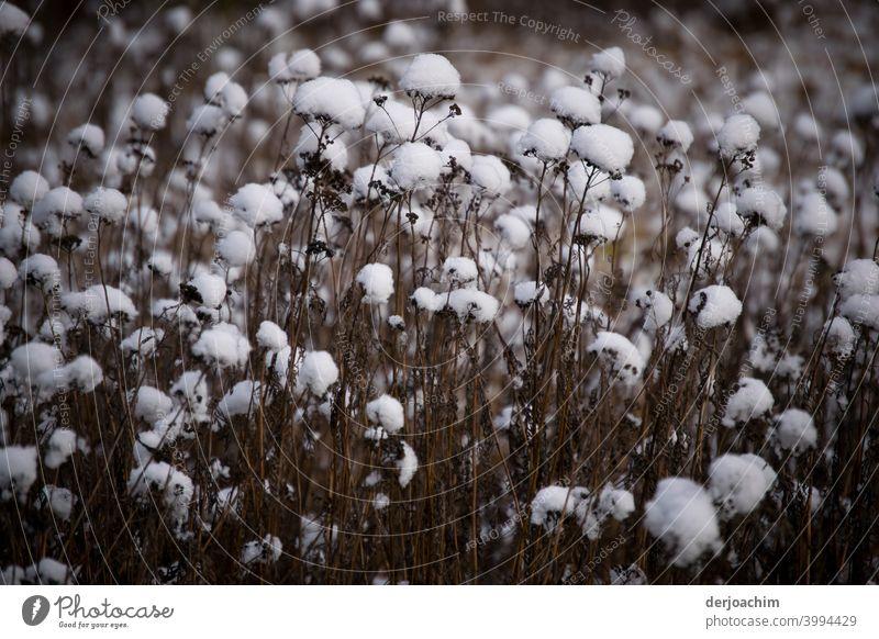 Schneeflocken liegten auf den abgeblühten Stengeln. - Ist keine Baumwolle ! - kalt Winter weiß Schneefall winterlich Menschenleer Natur Wetter Außenaufnahme