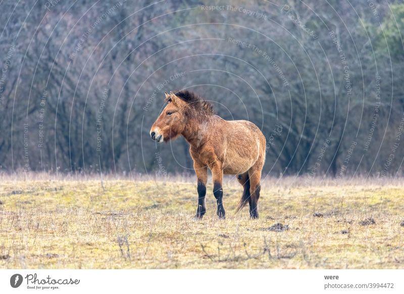 Ein Wildpferd der seltenen Pferderasse Przewalski-Pferd Equus ferus przewalskii Przewalskipferde Tier braun kuschelig weich frei Freiheit Fell Herdentier