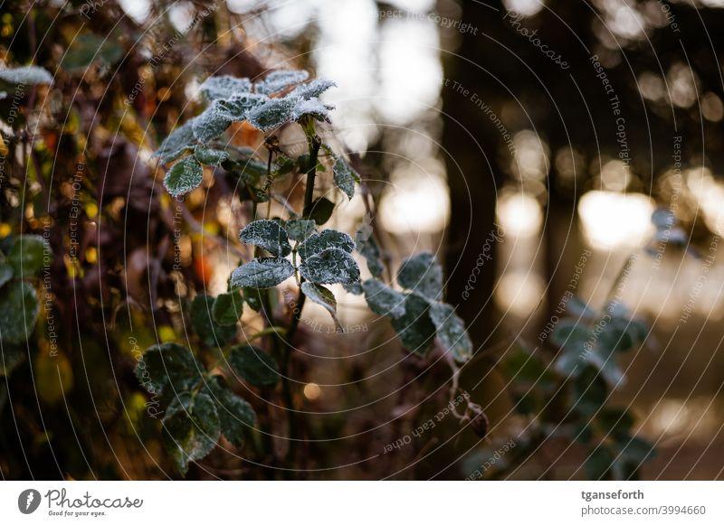 Rosenblätter Winter Raureif gefroren Blatt Schnee Eis Frost kalt Natur Nahaufnahme Eiskristall Pflanze Farbfoto Menschenleer Kristallstrukturen frieren