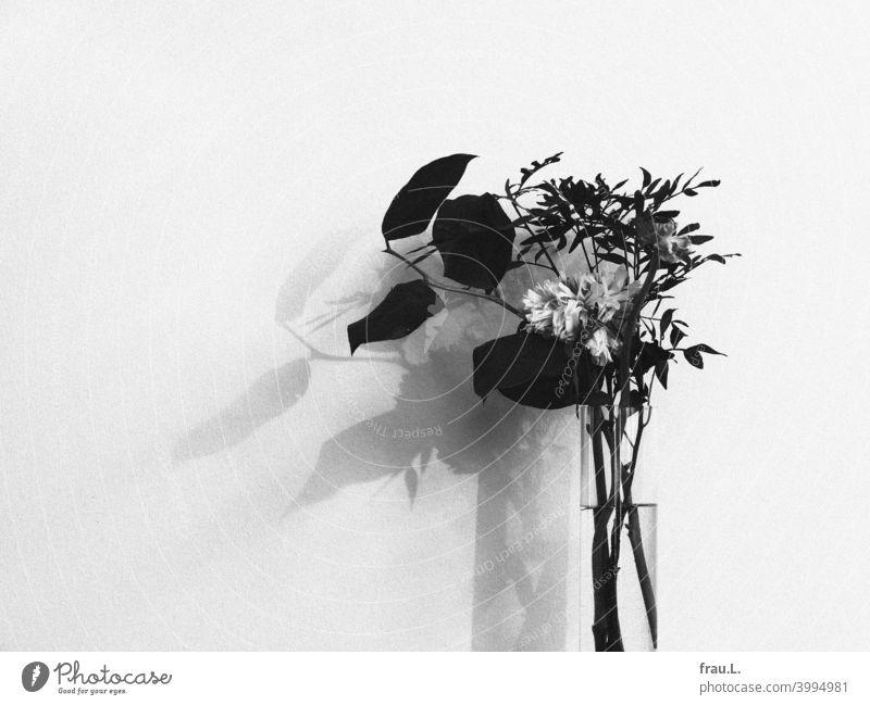 Glasvase mit verblühter Ranunkel Wand Vase Schatten Blätter