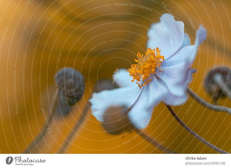 Blüte einer weißen Anemone im Abendlicht Unschärfe Hintergrund neutral Freisteller Menschenleer Makroaufnahme Detailaufnahme Nahaufnahme Farbfoto zart schön