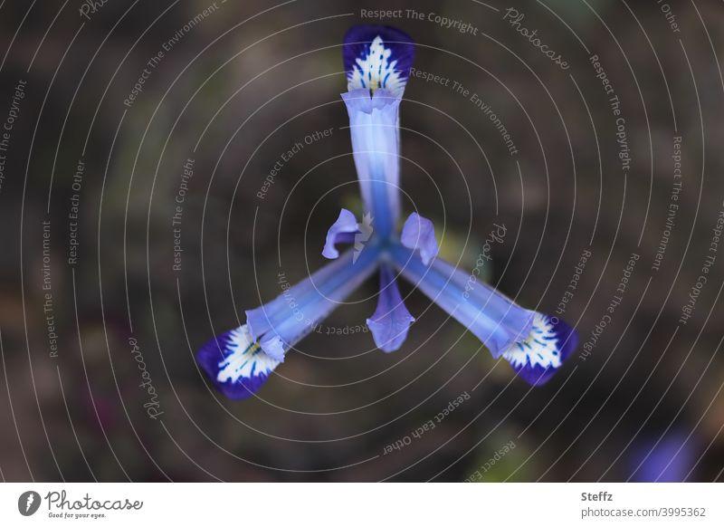 blaue Iris Schwertlilie Irisblume Iridaceae Staude Blume blühende Blume März April blaue Blüte blaue Blume blühende Frühlingsblume Natursymmetrie