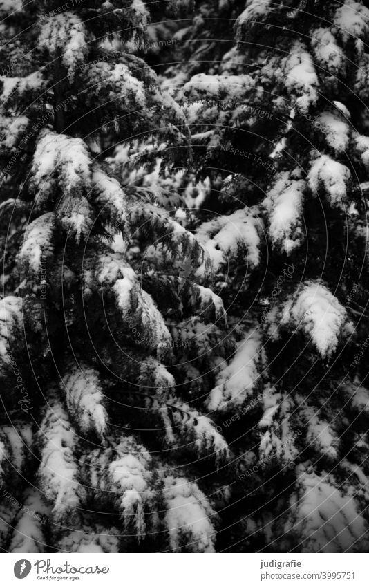 Winter auf dem Hinterhof Schnee Bäume Garten Tanne Konifere Natur kalt Frost Schwarzweißfoto Strukturen gefroren