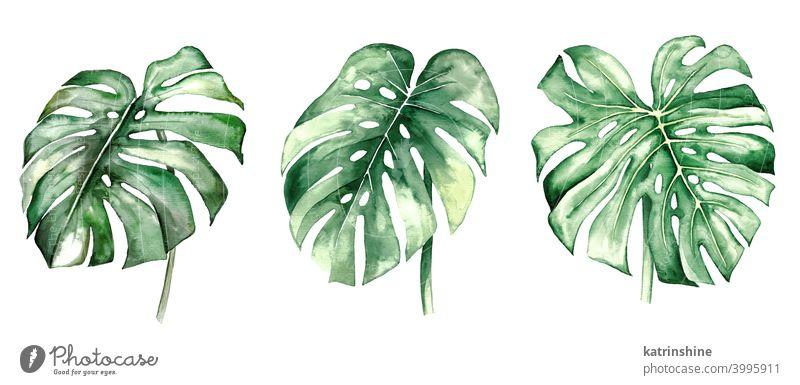 Aquarell monstera tropische Blätter Illustration Wasserfarbe Fensterblätter Zeichnung grün Grafik u. Illustration Dschungel Papier botanisch Blatt exotisch