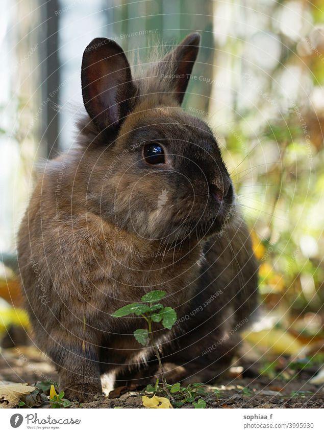 Porträt des braunen Löwenkopf-Zwergkaninchens im Garten Löwenkopfkaninchen Natur Hase Kaninchen Sitzen im Freien fluffig Blick Kopf klein Feld Freiheit niedlich