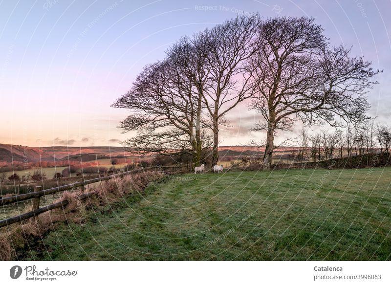 Bei Tagesanbruch an diesem Dezembermorgen stehen beide Schafe in der hinteren Ecke des Gatters, bei den großen Buchen Natur Landschaft Bäume Wiese Hecke Gras
