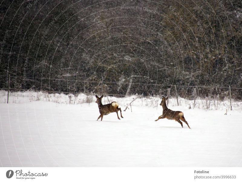 Auf dem Sprung - Zwei Rehe  laufen über eine verschneite Fläche während es ordentlich schneit. Winter Tier Wildtier Außenaufnahme Farbfoto Natur Tag