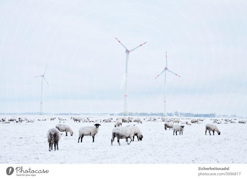Schafe auf schneebedeckter Wiese Schafherde Tiergruppe Außenaufnahme Herde Nutztier Menschenleer Landschaft Tag windräder Landleben Schnee weiß kalt Weide