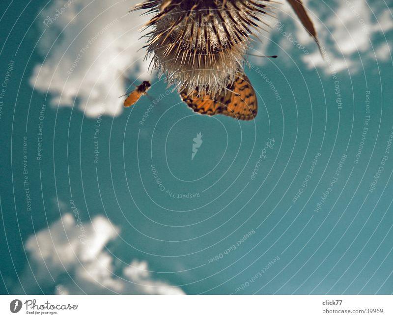 Landeanflug Natur Himmel blau Pflanze Wolken Tier Stil oben Luft fliegen Luftverkehr Schmetterling Biene Distel