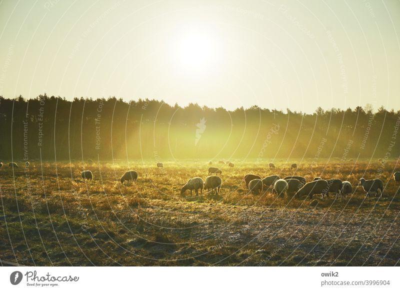Schafe im Goldmantel Tiergruppe Pflanze Landschaft Natur Umwelt Herde leuchten Fressen Erholung entdecken wandern Lebensfreude Einigkeit geduldig Vorsicht