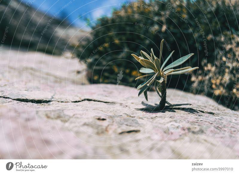 kleiner Stiel einer Euphorbia, der aus einem grauen Felsen im Berg herausragt Euphorie Farben horizontal bunt Cluster kompakt Leben Bild geologisch Wachstum
