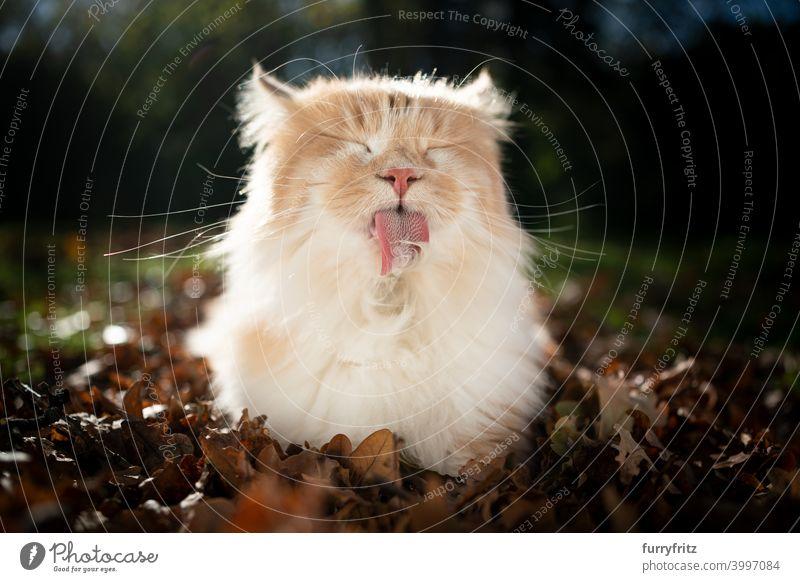 Langhaarkatze Fellpflege im Freien Katze maine coon katze beige Hirschkalb Creme-Tabby lecken fluffig katzenhaft Pflege Reinigen Hygiene Herbstlaub Sonnenlicht
